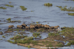 Elephant Herd Crossing Olifants River (Loxodonta africana)