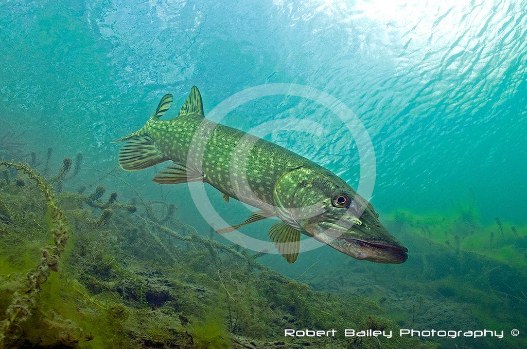 Pike (<em>Esox lucius</em>)