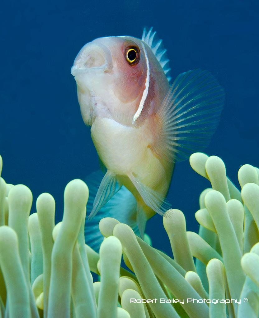 Eastern Skunk Anenome Fish (<em>Amphiprion sandaracinos</em>)