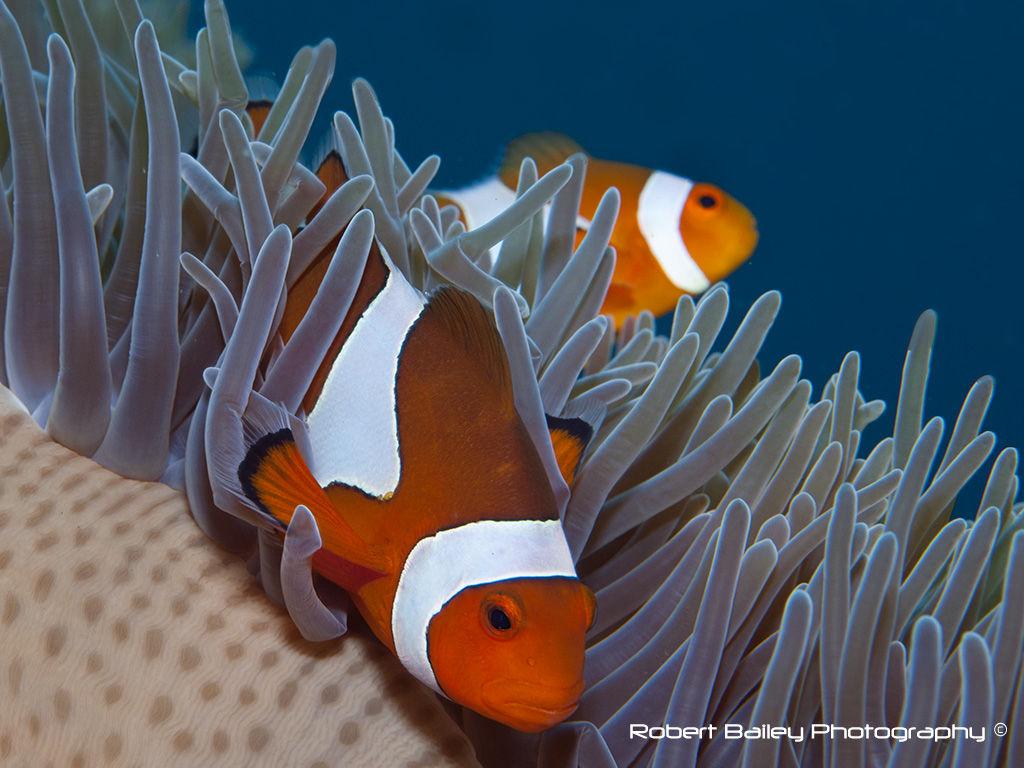 Western Anenome Fish (<em>Amphiprion ocellaris</em>)