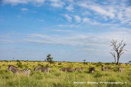 Zebra Grazing, Lower Sabie, Kruger National Park