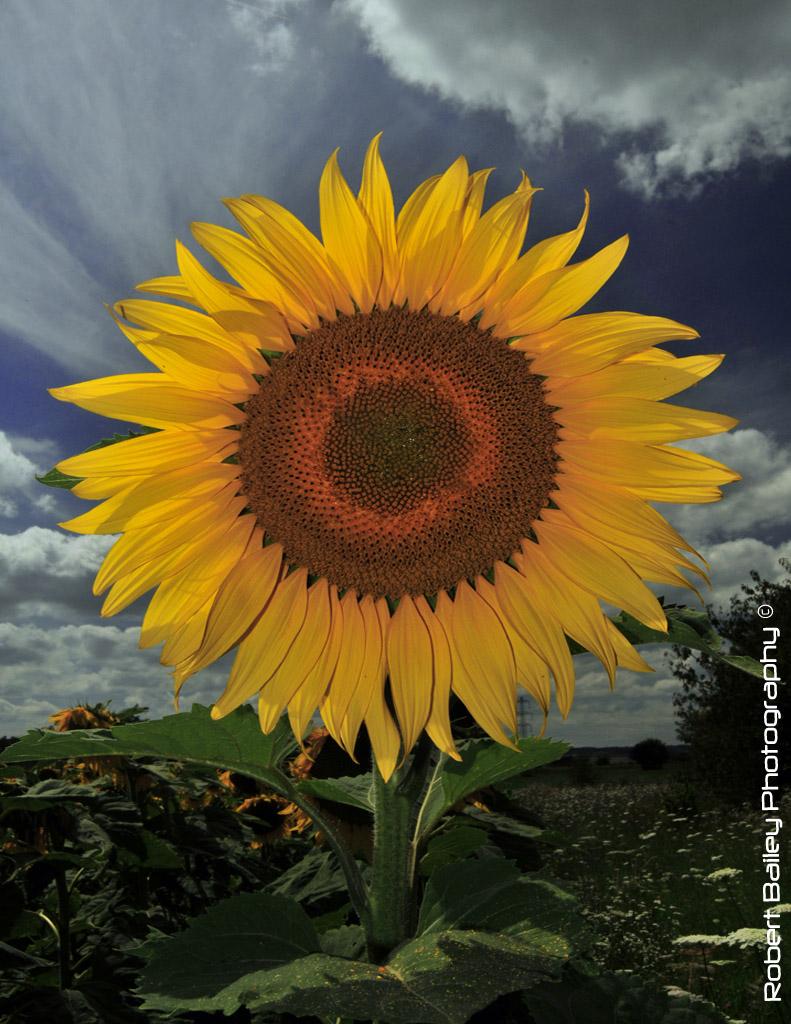 Sunflower - Take 2