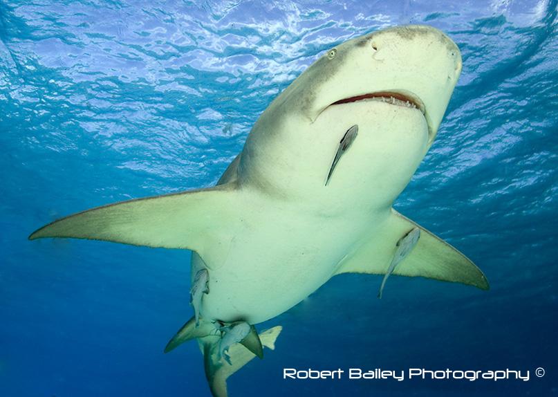 Lemon Shark (<em>Negaprion brevirostris</em>)