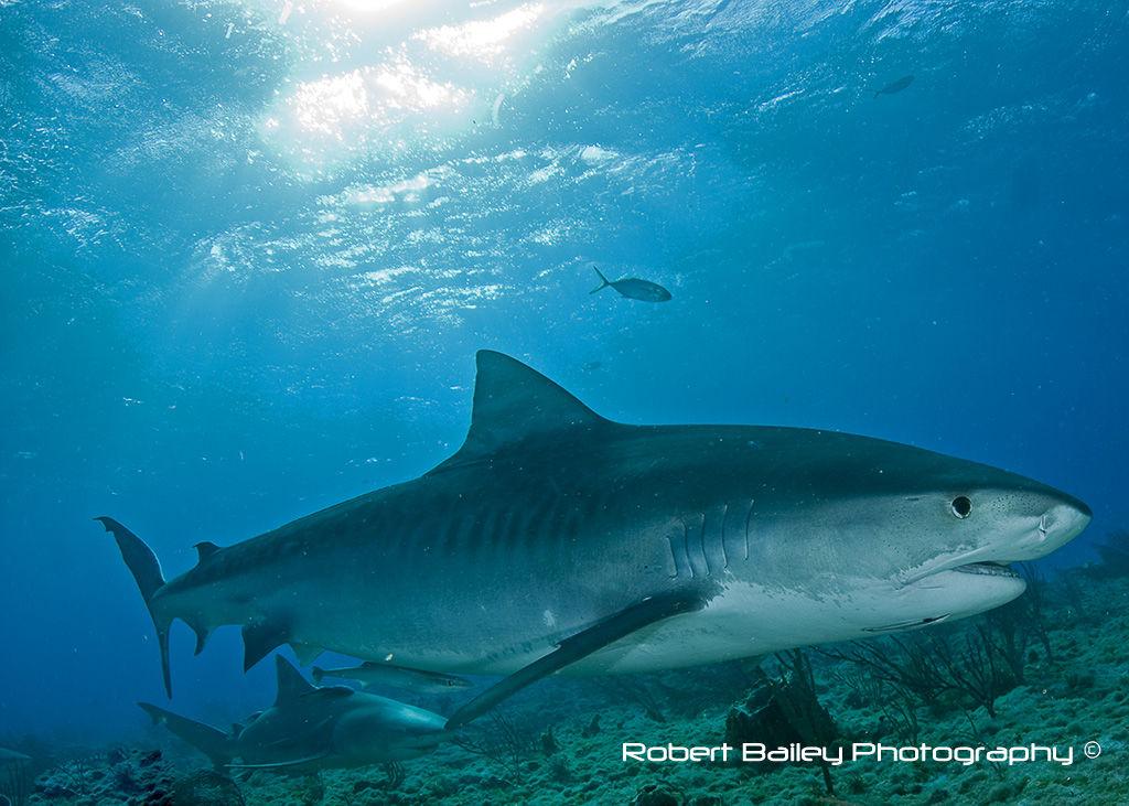 Tiger Shark (<em>Galeocerdo cuvier</em>)