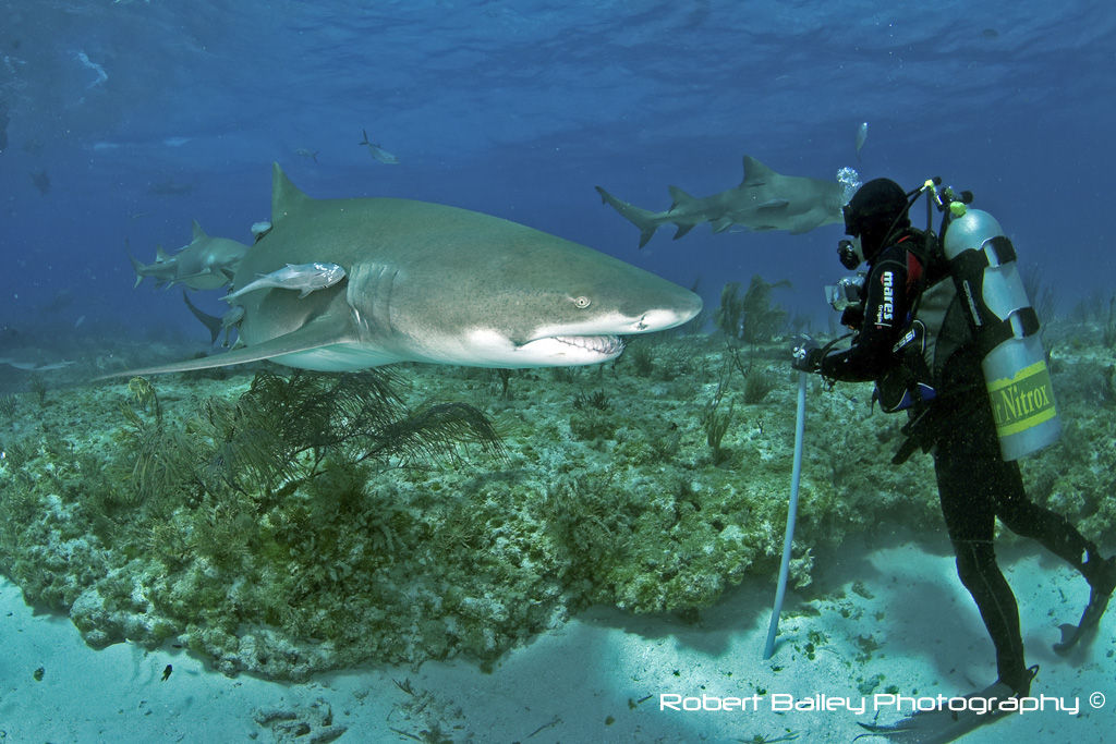 Diver with Compact Camera & Grey Reef Shark