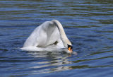 Mute Swans mating