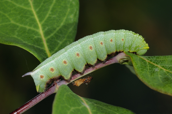 Caterpillar of The Broad-bordered Bee Hawkmoth