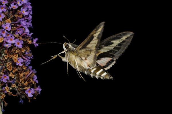 Bedstraw Hawkmoth feeding at night