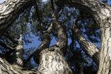 Black Pine (Pinus nigra)