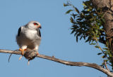 Black-shouldered Kite (Elanus axillaris) feeding on a rat