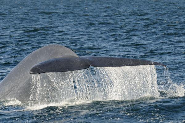 Blue Whale diving