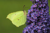 Brimstone feeding on Buddleia nectar