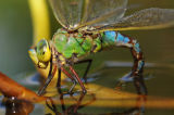 Female Emperor Dragonfly (Anax imperator) laying eggs