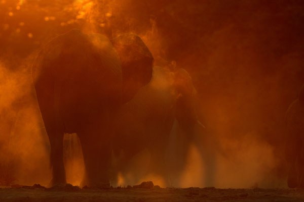 African Elephant Dust Bath (Loxodonta africana) at Sunset, Zambia