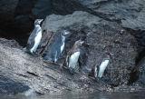 Galapagos Penguins (Spheniscus mendiculus)