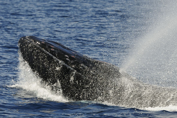 Humpback Whale (Megaptera novaeangliae) blowing at the surface Mexico