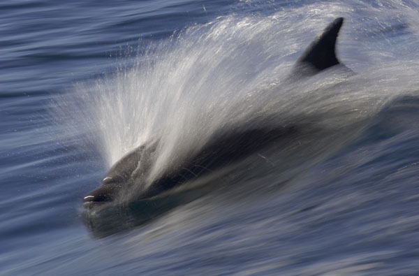 Bottlenose Dolphin (Tursiops truncatus) surfing the waves, Mexico