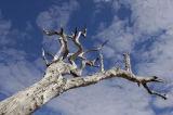 Dead Leadwood Tree (Combretum species) , Zambia