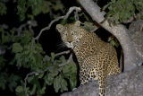 Leopard (Panthera pardus) up a tree at night