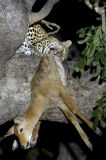 Leopard (Panthera pardus) up a tree with Puku kill