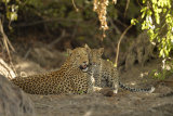Leopard and cub, Zambia
