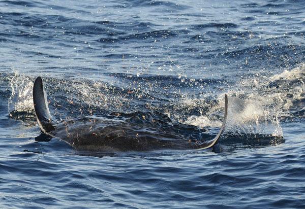 Mobula Ray chasing krill at the water surface