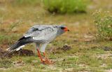 Pale Chanting Goshawk (Melierax canorus)