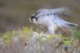 Peregrine (Falco peregrinus) rearranging its feathers, UK