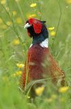 Male Common Ring-necked Pheasant (Phasianus colchicus)