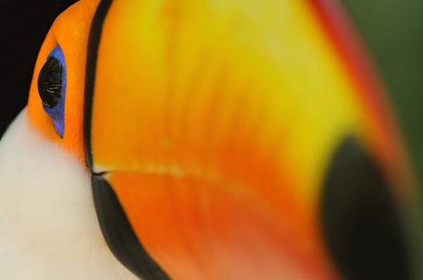 Portrait of a Toco Toucan (Ramphastos toco), Brazil