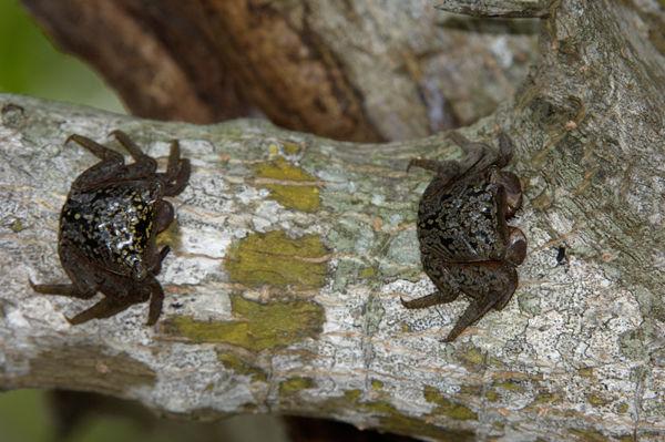 Mangrove Tree Crabs (Aratus pisonii) Florida, USA