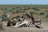White-backed Vulture ( Gyps africanus) feeding on Zebra carcass, Namibia