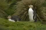 Yellow-eyed Penguin or Hoiho (Megadyptes antipodes) New Zealand