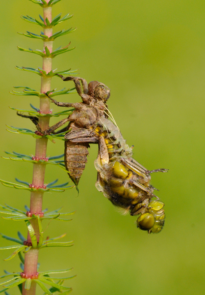 Emerging Broad-bodied Chaser (Libellula depressa)