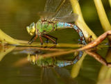 Emperor Dragonfly (Anax imperator) female laying eggs, UK