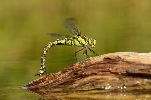 Southern Hawker Dragonfly (Aeshna cyanea) female, UK