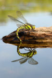 Southern Hawker Dragonfly (Aeshna cyanea) female, UK