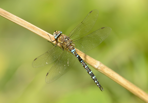 Male Migrant Hawker Dragonfly (Aeshna mixta)