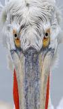 Dalmatian Pelican (Pelecanus crispus)  Greece