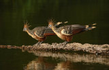 Hoatzin or Stinkbird