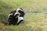 African Penguins mating