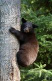 Baby Black Bear (Ursus americanus)