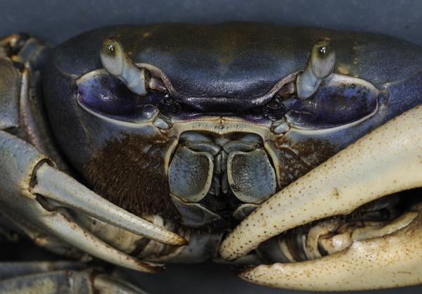 Blue Crab Trinidad