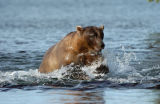 Grizzly Bear (Ursus arctos) trying to catch fish