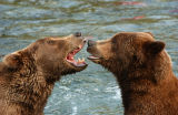 Two Grizzly Bears (Ursus arctos) having a chat