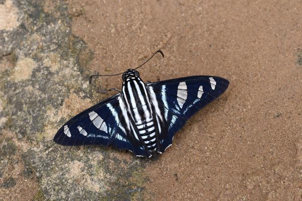 Blue Jemada Skipper Butterfly