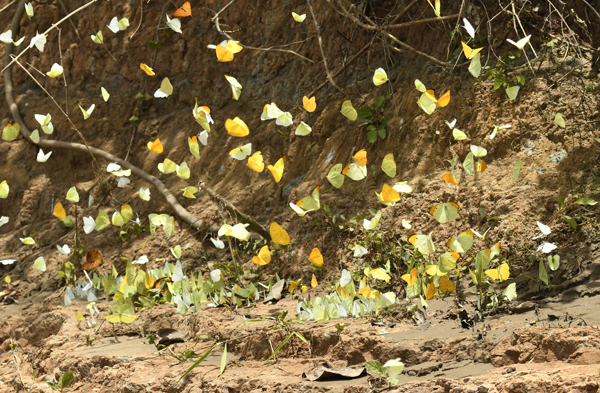 A mass of feeding Butterflies