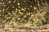 A mass of feeding Butterflies