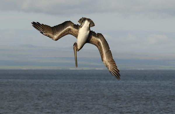 Brown Pelican (Pelecanus occidentalis) diving, Galapagos Islands
