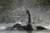 Black Swan (Cygnus atratus) bathing vigorously